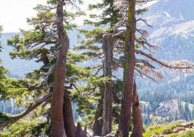 Lassen Volcanic trees