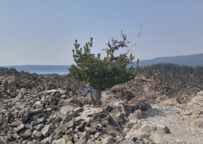 Tree Lassen Volcanic Monument