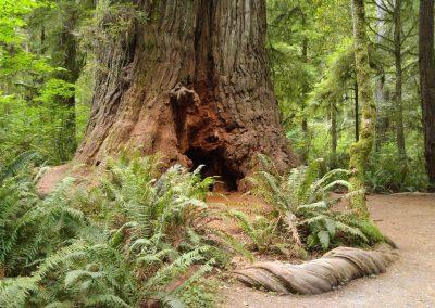 giant sequoia root