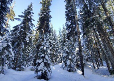 winter trees Whistler