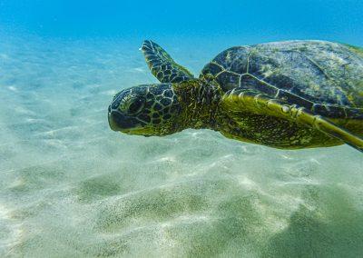 Turtle Mauna Kea beach
