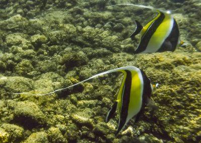 moorish idol fishes