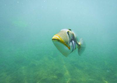picasso tiger fish