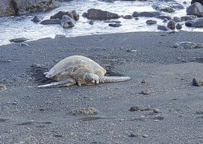 turtle black beach