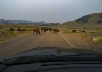 bisons on the street